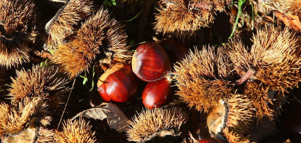 Asaja prevé que la cosecha de castañas en el Bierzo será «la peor de los últimos años»