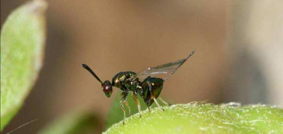 La Junta pide colaboración al Gobierno para actuar contra la avispilla del castaño en el Bierzo