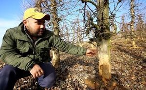 Constatan una reducción de los daños de la plaga de conejos en los viñedos y frutales del Bierzo