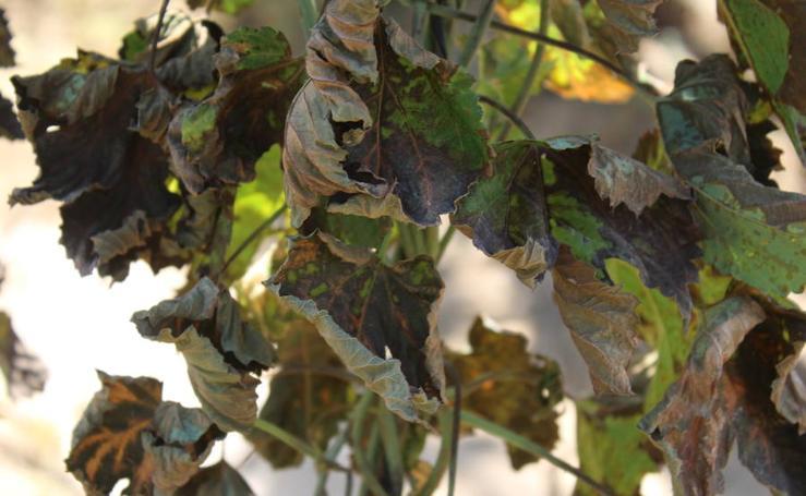 Las imágenes del impacto del tiempo en las plantaciones de Lúpulo