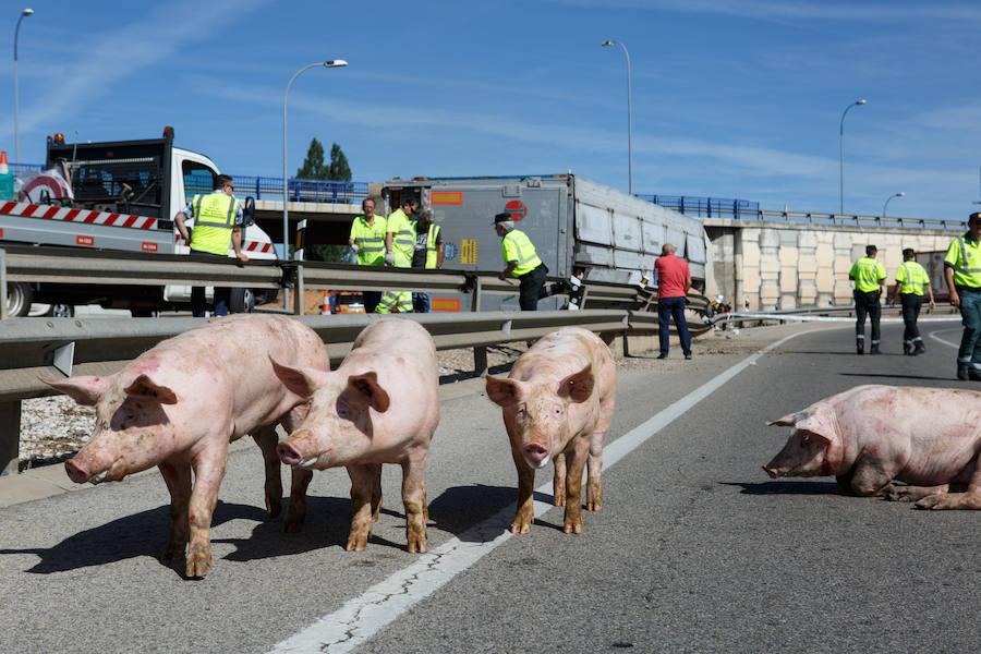 Accidente de un camión con cerdos en Soria