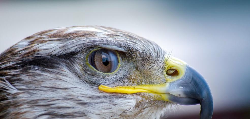 Una 'fábrica de halcones' en Pobladura de Luna