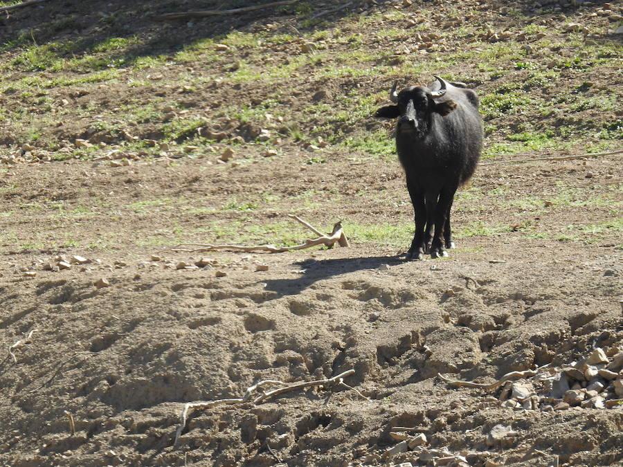 Búfalos en Riaño