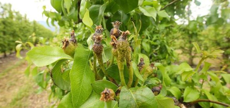 El Bierzo solo tendrá un 10% de fruta en esta cosecha, pero «será de calidad»
