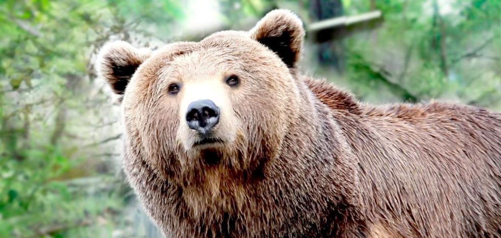 El oso revive en León