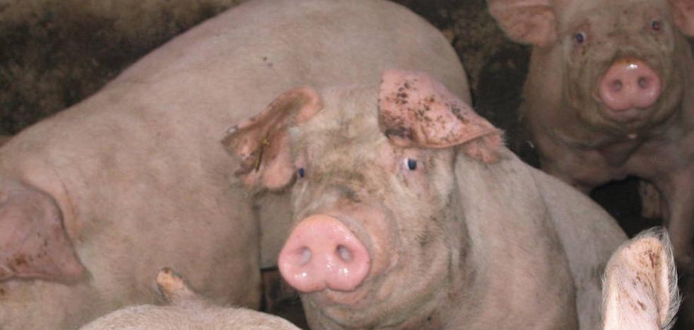 El sector porcino de la provincia de León crecerá a ritmos del 10% en los próximos años