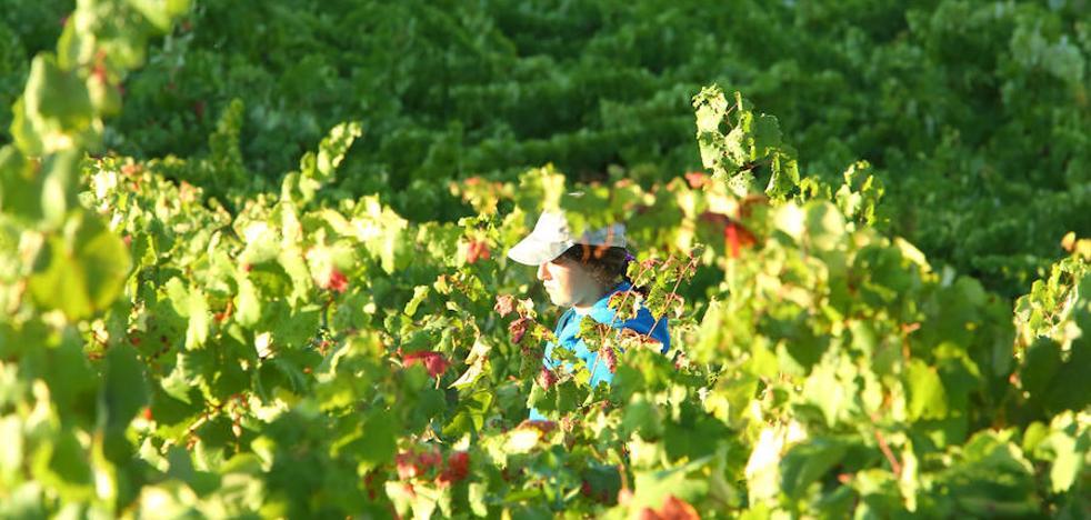 El Bierzo vendimia más de nueve millones de kilos de uva «de calidad excepcional» pese a las heladas y la sequía