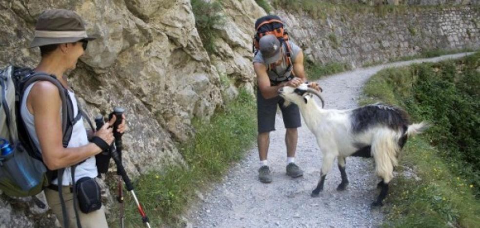 Cabrales solicita la retirada de cabras de la Ruta del Cares