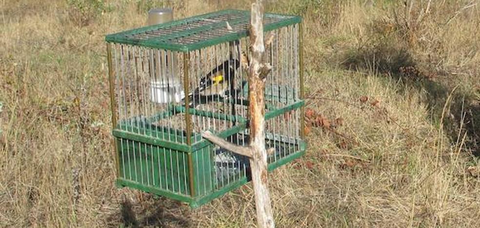 La Guardia Civil denuncia a tres personas por la caza y tenencia ilegal de 135 pájaros