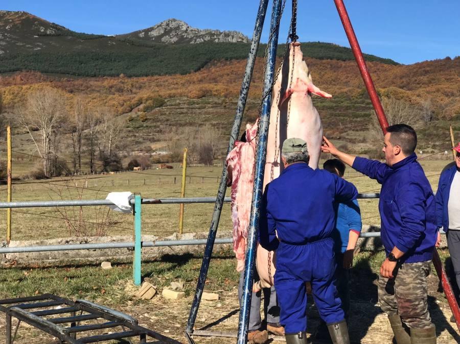 Tradicional matanza del cerdo