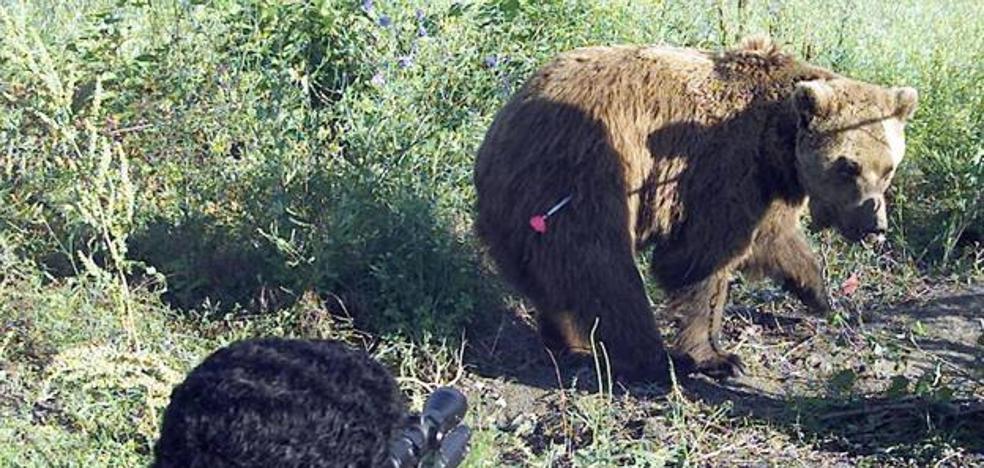 Suárez-Quiñones dice que no haber localizado el oso herido en la Montaña Palentina significa que no tiene una lesión grave