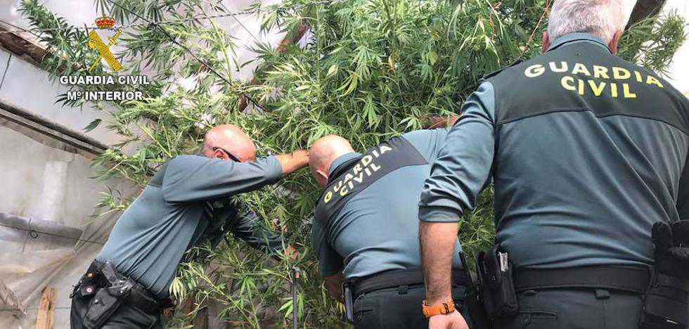 La Guardia Civil ha detenido a 16 personas por tráfico de marihuana durante este año