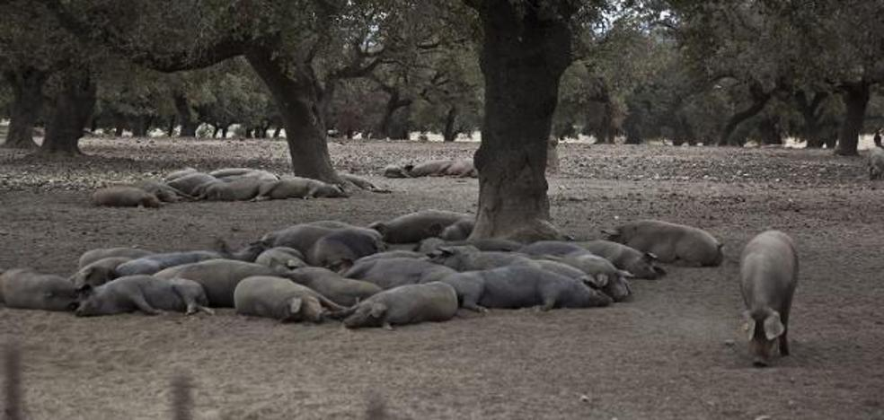 El jamón ibérico, en riesgo por una 'plaga asesina'