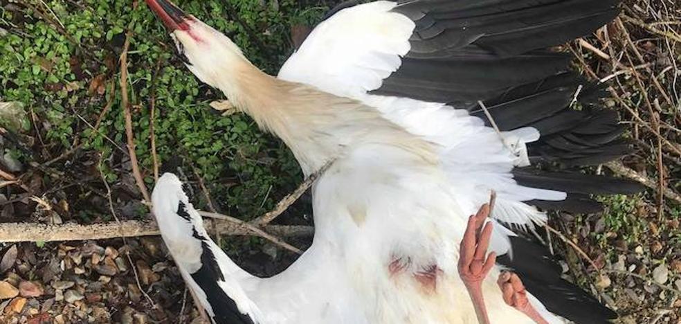 Disparan y matan a una pareja de cigüeñas en el campanario de la iglesia de Valverde de la Virgen