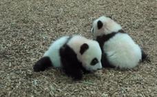 Los gemelos panda del zoo de Atlanta son toda una atracción