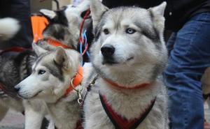 Vegarada acoge a 50 participantes y más de 100 perros en el Campeonato Autonómico de mushing