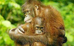 La deforestación reduce la población de orangutanes en Borneo