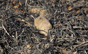 Una sentencia anula en Castilla y León la quema de rastrojos con fines fitosanitarios