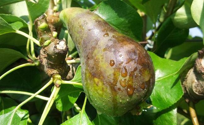 Asaja critica la «escasa voluntad» de la Junta para modificar la línea del seguro agrario de frutales en el Bierzo