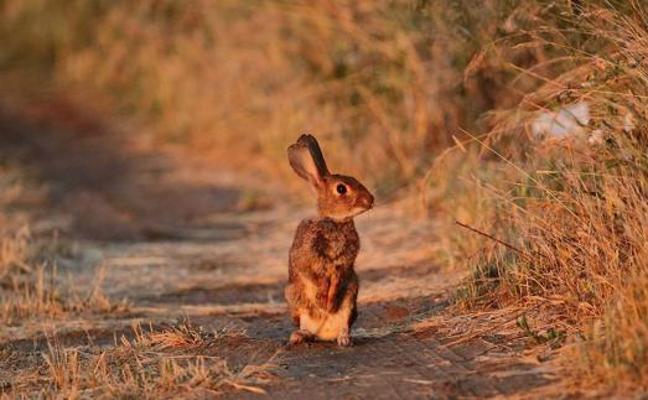 Ciudadanos reclama a la Junta «medidas inmediatas» para reducir la plaga de conejos en la comarca del Bierzo