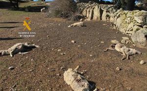 Investigan a un ganadero que dejó morir de hambre a 131 ovejas en Salamanca