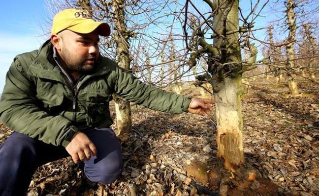 Aprobado el desbroce de cunetas para regular la superpoblación de conejos a petición del Consejo de Vinos del Bierzo