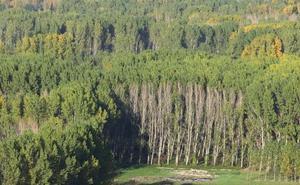 Villadepalos subasta por 140.000 euros el aprovechamiento forestal de chopos en los montes