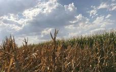 Los agricultores se encomiendan a las lluvias de estos días para decidir parte de su siembra