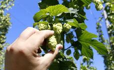 Los productores de lúpulo impulsan una red de secaderos por biomasa para reducir emisiones e impulsar los beneficios