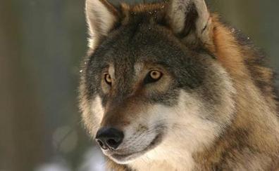Un grupo de 60 asociaciones ecologistas y animalistas amenaza con denunciar el 'cupo del lobo' en Picos