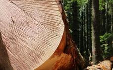 Castilla y León aspira a producir cuatro millones de metros cúbicos de madera al año si se movilizan los montes privados