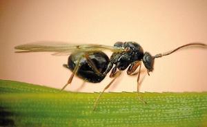 La Junta inicia la suelta experimental de un 'parasiotoide' para el control de la avispilla del castaño