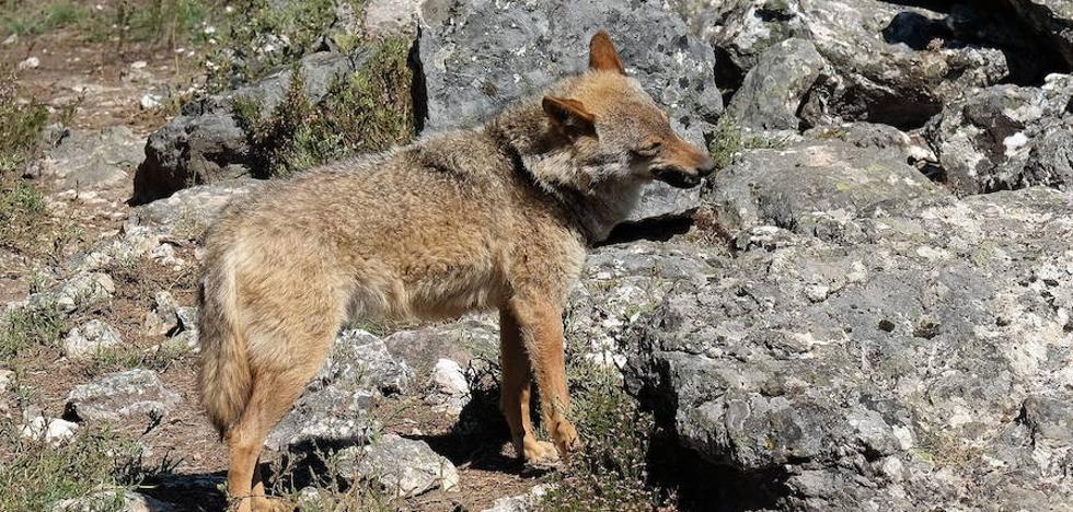 El TSJCyL paraliza la caza del lobo al norte del Duero