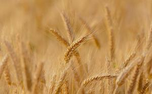 León amplía su zona de cereal en un 15% y espera una de las mejores cosechas