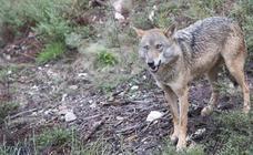 La provincia de León ha registrado 196 ataques de lobo en 2017 por los que se han abonado casi 25.000 euros