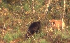 Mastines frente a osos