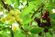 Daños causados por las lluvias en las cerezas del Bierzo con Marca de Garantía