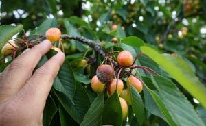 Las lluvias provocan la pérdida de «al menos» la mitad de la cosecha de variedades tempranas de cereza del Bierzo