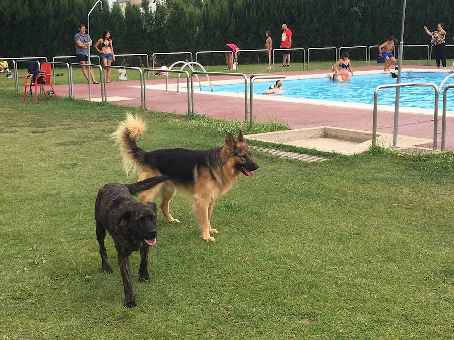 Los perros disfrutan de la piscina