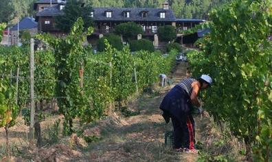 La vendimia 2018 arranca en el Palacio de Canedo con las uvas blancas del Xamprada