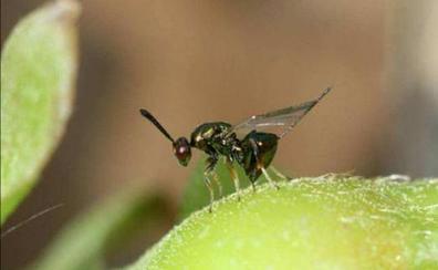 Los apicultores bercianos lamentan que la avispa asiática continúe su avance «sin que nadie le ponga remedio»
