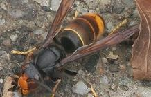 La UPL exige a la Junta medidas para evitar la expansión de la avispa asiática en El Bierzo