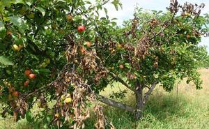 La Estación de Avisos Agrícolas del Bierzo alerta sobre el riesgo de fuego bacteriano en los frutales