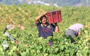 La producción de uva de la DO Bierzo remonta un 26% sobre la pasada vendimia con más de 11.200 toneladas