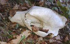 Aparecen los restos esqueletizados de un ejemplar de oso pardo en la localidad de Tejedo del Sil