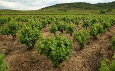 La Junta simplifica trámites y permite solicitar autorizaciones de replantación de viñedos durante todo el año