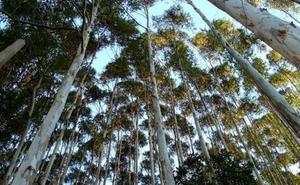 El PSOE denuncia que la ordenanza contra los eucaliptos de Cabañas Raras provoca su proliferación