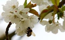 El programa para plantar 2.000 cerezos en los pueblos de Ponferrada suma 45 inscritos