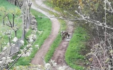 Un lobo sarnoso entra en un pueblo leonés y se lleva un perro para comérselo