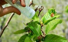 La Red Estatal del Castaño solicita la puesta en marcha urgente del plan de contingencia contra la avispilla